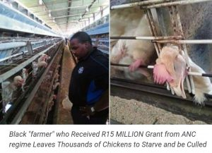 "Black ""farmer"" who Received a R15 MILLION Grant from ANC regime Leaves Thousands of Chickens to Starve and be Culled"