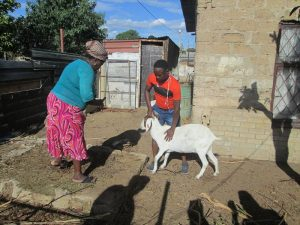 Suspect accused of raping a goat in Hammanskraal area commits suicide