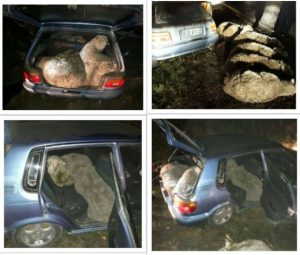 Unbelievable - Suspects in Eastern Cape arrested after being caught with 6 stolen sheep in a Toyota Tazz