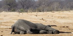 Over 100 elephants killed in Zimbabwe