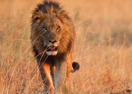 wo lions escape through damaged fence in Hluhluwe-iMfolozi Park – hopefully they not craving human meat