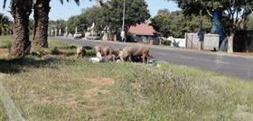 Pigs in Bloemfontein